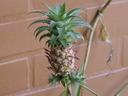 Как да си отглеждаме ананас-джудже?