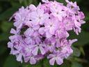 Флокс – красивото цвете с извънземното име