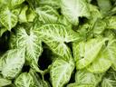 Сингониум – растение с променящи се листа