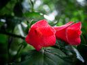 Лапагерия – растение с нежни висящи цветове
