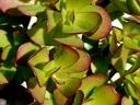 Красула и нейните чудни месести листенца