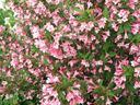 Вайгела – естествен гирлянд в градината ви