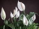 Спатифилум – нежност и вълшебен аромат вкъщи
