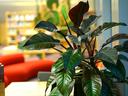 Калатея – тропическа красота с шарени листа