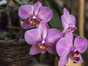 Фаленопсис – нежната пеперудена орхидея