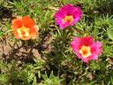 Калдъръмче – любимото цвете на всяка градина