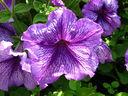 Петуния – феята на градинските цветя