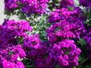 Върбинка или вербена – най-лъчезарното балконско цвете