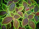 Пилея – интересна със своите красиви листенца