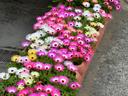 Месембриантемум – растение с много цвят и настроение