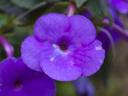 Ахименес – разноцветната камбанка