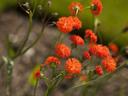 Червена емилия – рядка и красива