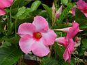 Дипладенията и прекрасните й изящни цветове