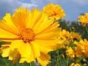 Кореопсис или жълтичка – как се отглежда?
