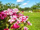 Годеция – пищна украса за балкона и градината