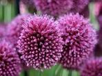 Алиум – цветето с най-бухнал цвят