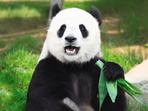 Знаете ли, че... мъжката панда държи пениса си като човек?