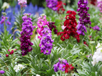 Шибой – най-ароматното цвете в градината