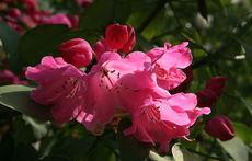 Азалия – буен букет от цветове за дома