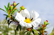 Лавдан – красиво цъфтящ храст
