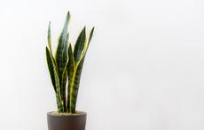 Растения, които прочистват въздуха вкъщи