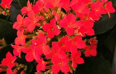 Каланхое - истински цветен разкош!