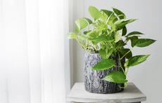 Домашни растения, които облекчават симптомите на алергия