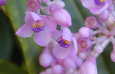 Мединилата с тежките си гроздови цветове