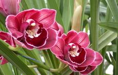 Цимбидиум – най-красивата орхидея