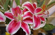 Лилиумът – едно от най-красивите градински цветя