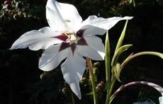 Ацидантера – грациозна звездна гладиола