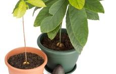 Да засадим авокадо