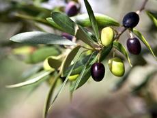 За какво помагат маслиновите листа?