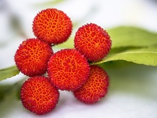 Плодът личи и неговите ползи за здравето
