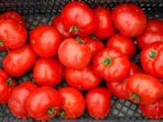 Доматът – любимият ни летен зеленчук