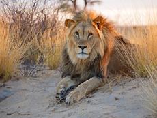 Знаете ли, че... лъвът всъщност не е цар на джунглата?