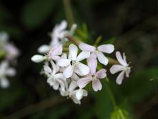 Сапунче – красиво и лечебно цвете