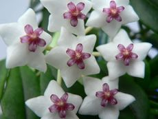 Наричайте я хоя, восъче или восъчно цвете – все е красива!