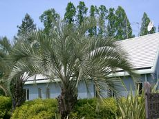 Бутия – елегантна палма