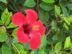 Цъфти ли през зимата китайската роза?