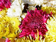 Хризантемата озарява дома като слънце