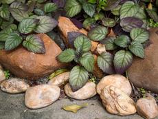 Хемиграфис - зелен килим вкъщи и в градината