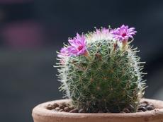 Мамилария – сладък кръгъл кактус
