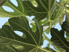 За какво помага чаят от смокинови листа?