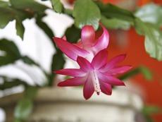Коледният кактус цъфти не само през зимата