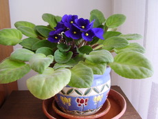 Еписция – малко цвете, голяма красота!