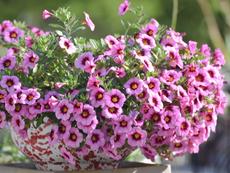 Калибрахое – експлозия от цветове и аромат