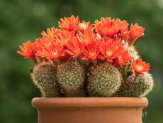 Айлостера – красив цъфтящ кактус