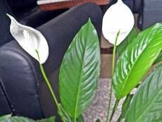 Да засадим и отгледаме лилия на мира