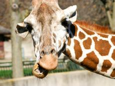 Знаете ли, че... женският жираф уринира в устата на мъжкия?